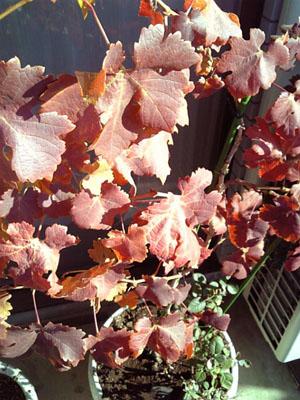 ぶどうの葉.jpg