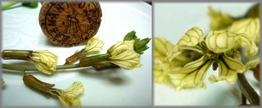 ルッコラの花.jpg