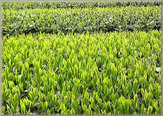 茶畑の写真.jpg