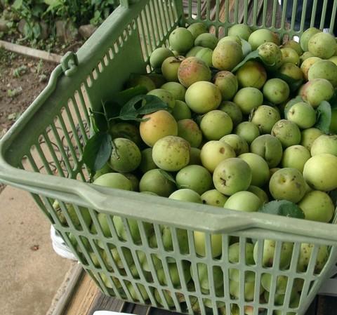 梅の実を8kg程収穫.jpg