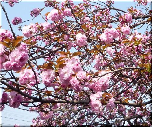 八重桜2009.4.13.jpg