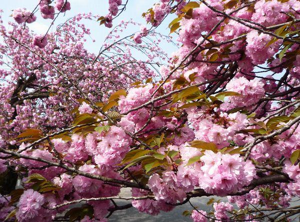 八重桜2009.4.16.jpg