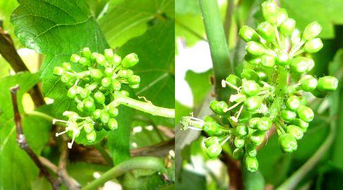 葡萄の花2009.5.16.jpg