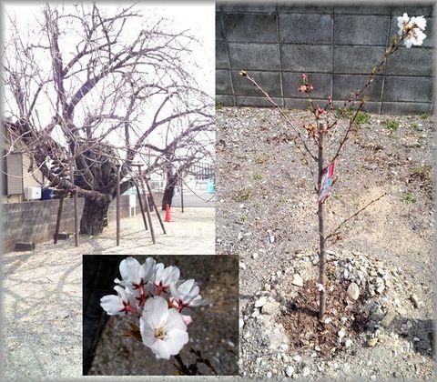 吉祥院の桜.jpg