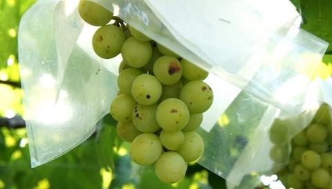 山梨の葡萄.jpg