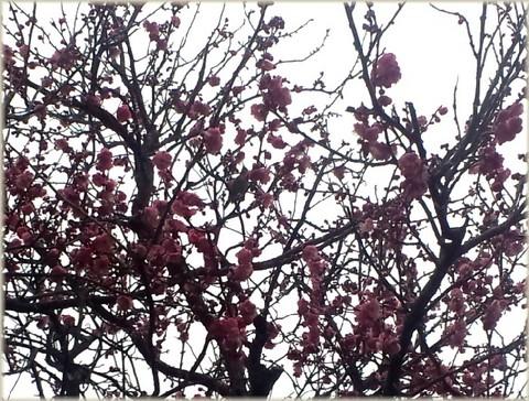 梅に鶯(うぐいす).jpg