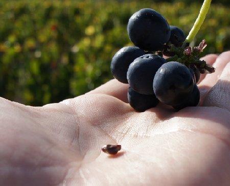 種まで完熟2011年の葡萄.jpg