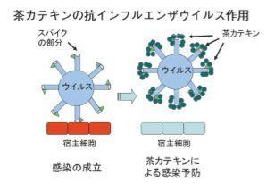 緑茶ウイルス、カテキン.jpg
