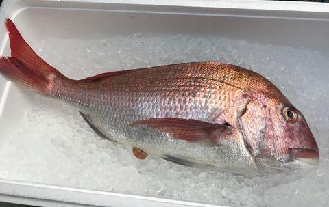 鯛3kg.jpg